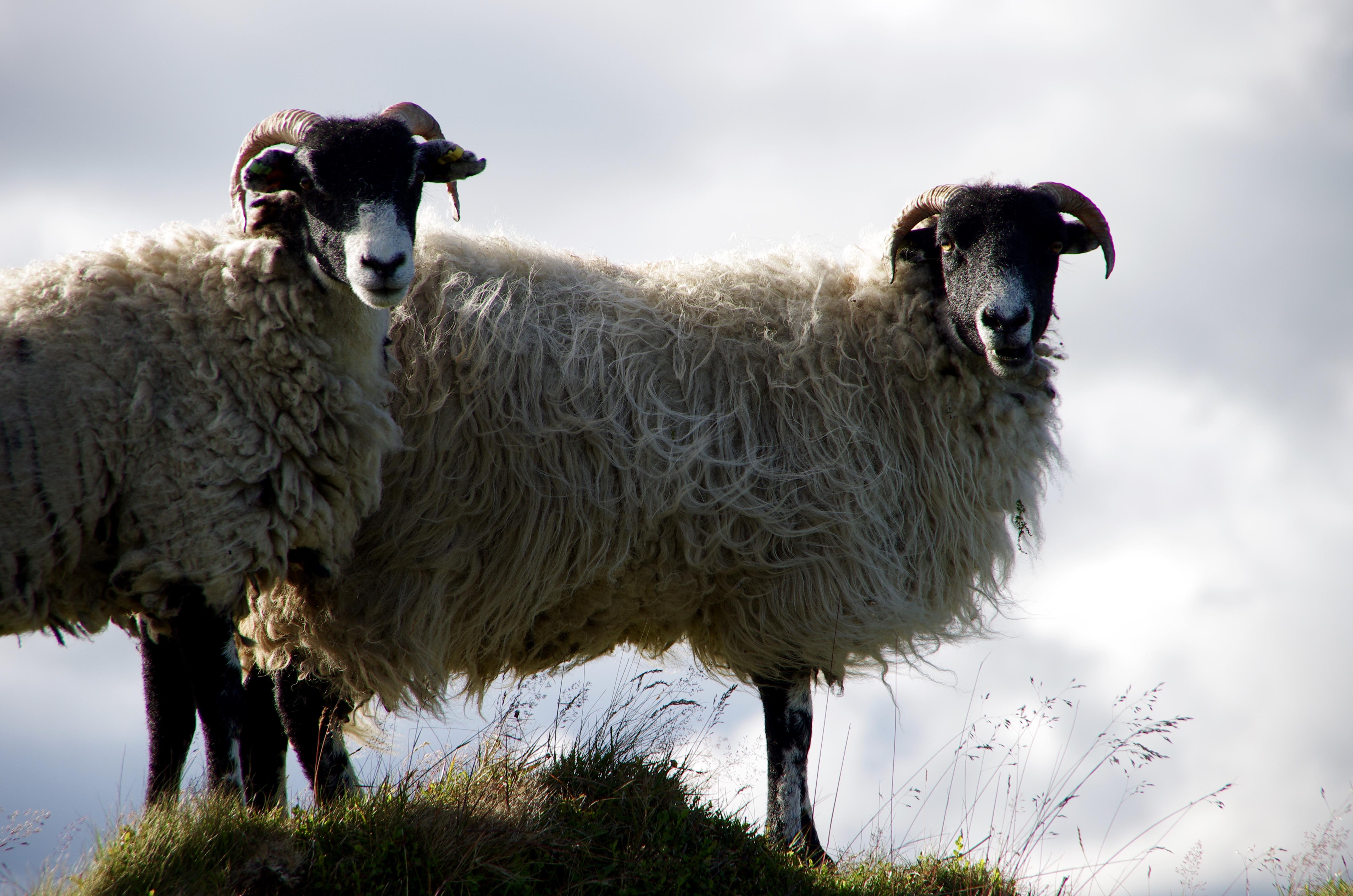 Rams in Dartmoor