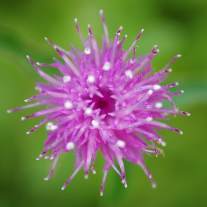 Vibrant purple thistle
